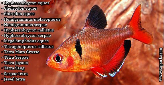 Tétra Serpae - Tetra joyaux - Tetra Sang - Serpae tetra - Jewel tetra - Hyphessobrycon eques - Cheirodon eques - Chirodon eques - Hemigrammus melasopterus - Hemigrammus serpae - Hyphessobrycon callistus - Hyphessobrycon serpae - Megalamphodus eques - Tetra Mato Grosso - Tetragonopterus callistus
