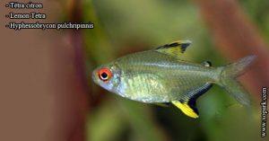 Tétra citron - Hyphessobrycon pulchripinnis