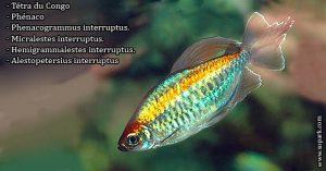 Tétra-du Congo - Phenacogrammus-interruptust---Congo-tetra