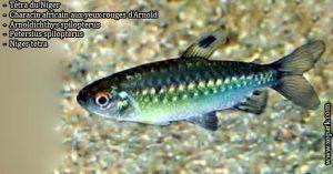 Tétra du Niger ---Arnoldichthys-spilopterus---Niger-tetra est un poisson d'eaux douces, ces descriptions, ces photos et ces vidéos sont ici à xopark
