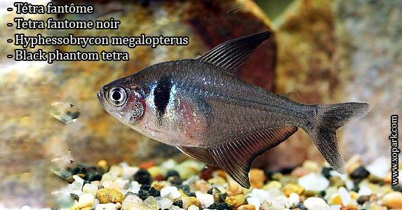 Tetra fantome - Hyphessobrycon megalopterus---Black phantom tetra