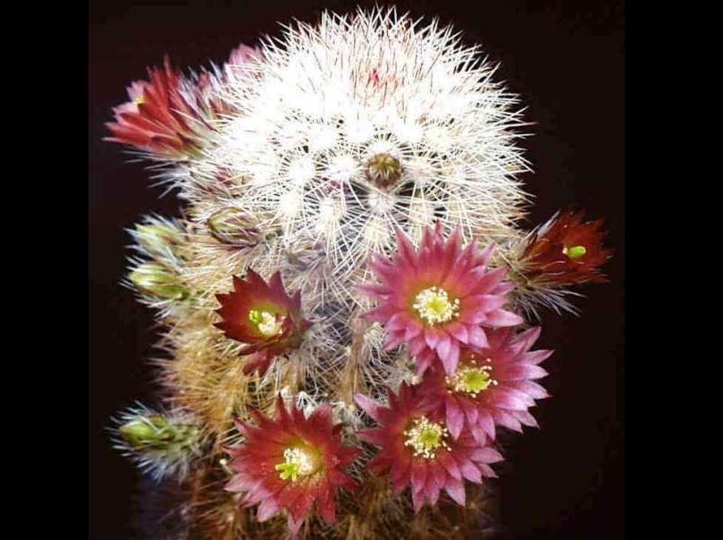 xopark0Echinocereus-russanthus