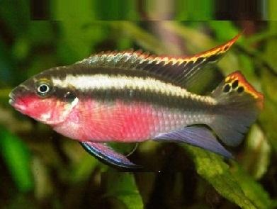 xopark0Pelmato—Rainbow-krib—Pelvicachromis-pulcher