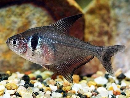 xopark0Tetra-fantome—Hyphessobrycon-megalopterus—Black-phantom-tetra
