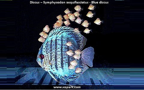 xopark10Discus—Symphysodon-aequifasciatus—Blue-discus