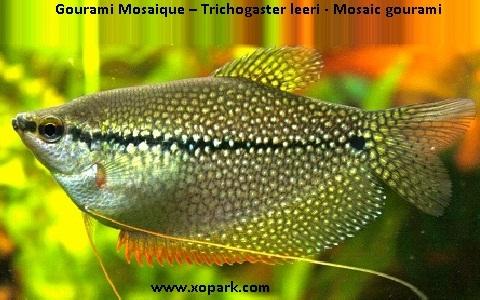 xopark10Gourami-Mosaique—Trichogaster-leeri—Mosaic-gourami