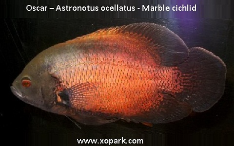 xopark10Oscar—Astronotus-ocellatus—Marble-cichlid