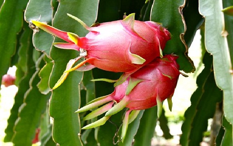 xopark10Pitaya—Fruit-du-dragon—-Hylocereus-undatus—Strawberry-Pear