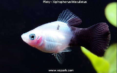 xopark10Platy—Xiphophorus-Maculatus—Wagtail-Platy