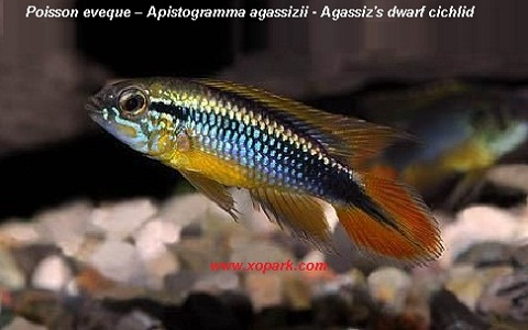 xopark10Poisson-eveque—Apistogramma-agassizii—Agassizs-dwarf-cichlid