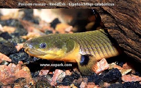 xopark10Poisson-roseau—Reedfish—Erpetoichthys-calabaricus