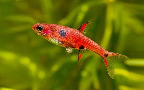 xopark10Rasbora-nain—Boraras maculatus—Dwarf-rasbora