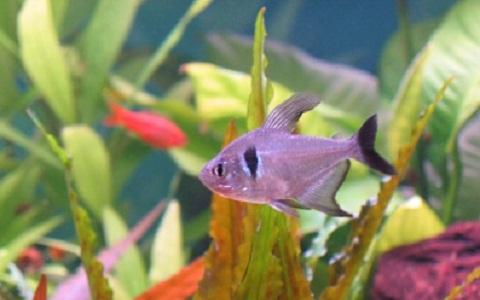 xopark10Tetra-fantome—Hyphessobrycon-megalopterus—Black-phantom-tetra