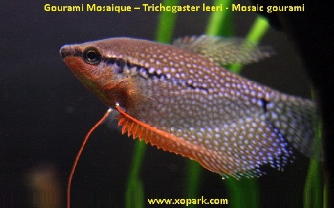 xopark11Gourami-Mosaique—Trichogaster-leeri—Mosaic-gourami