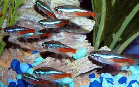 xopark11Neon-bleu—Paracheirodon-innesi—Neon-tetra