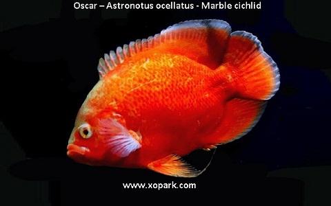 xopark11Oscar—Astronotus-ocellatus—Marble-cichlid