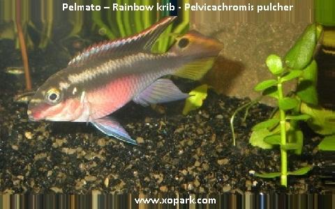 xopark11Pelmato—Rainbow-krib—Pelvicachromis-pulcher