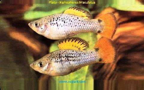xopark11Platy—Xiphophorus-Maculatus—Wagtail-Platy