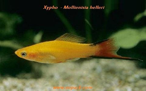 xopark11Xipho—Xiphophorus-hellerii—Green-swordtail