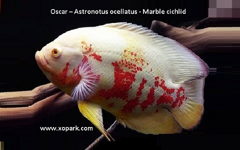 xopark12Oscar—Astronotus-ocellatus—Marble-cichlid
