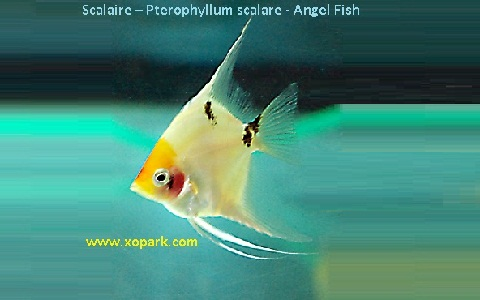 xopark12Scalaire—Pterophyllum-scalare—Angel-Fish