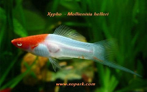 xopark12Xipho—Xiphophorus-hellerii—Green-swordtail