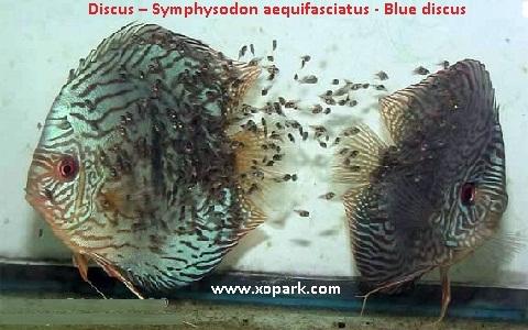 xopark13Discus—Symphysodon-aequifasciatus—Blue-discus