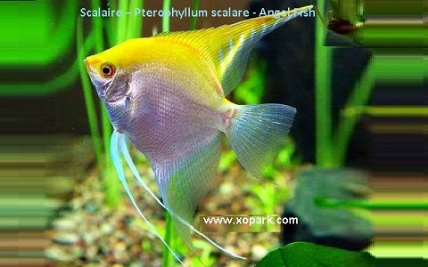 xopark13Scalaire—Pterophyllum-scalare—Angel-Fish