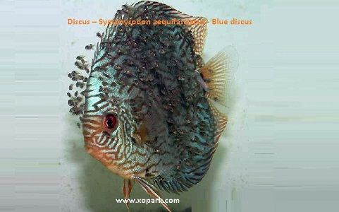 xopark14Discus—Symphysodon-aequifasciatus—Blue-discus
