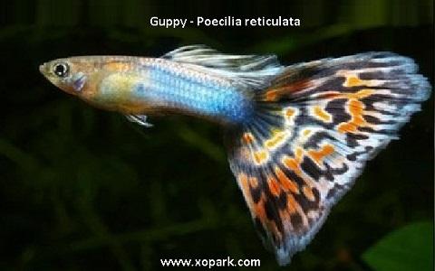 xopark14Guppy—Poecilia-reticulata—Million-fish