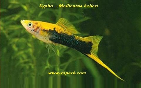 xopark14Xipho—Xiphophorus-hellerii—Green-swordtail