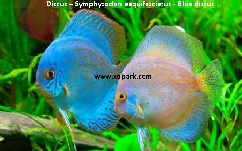 xopark16Discus—Symphysodon-aequifasciatus—Blue-discus