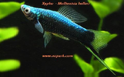 xopark16Xipho—Xiphophorus-hellerii—Green-swordtail