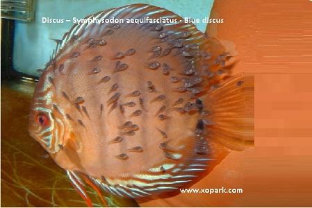 xopark19Discus—Symphysodon-aequifasciatus—Blue-discus