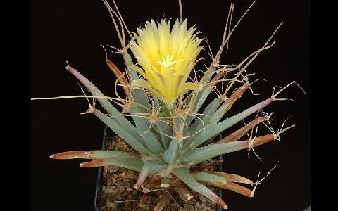 xopark1Agave-cactus—Prism-cactus—Leuchtenbergia-principis
