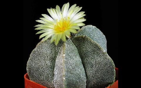 xopark1Bonnet-d_Evêque—Astrophytum-myriostigma—Bishop_s-Cap-Cactus