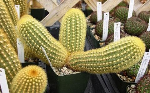 xopark1Cleistocactus-icosagonus