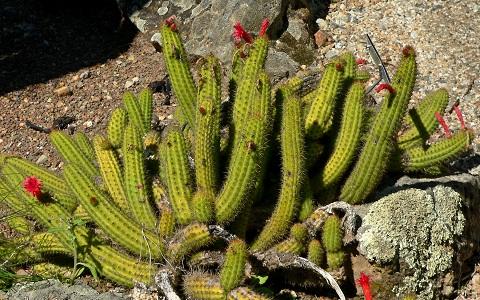 xopark1Cleistocactus-samaipatanus1