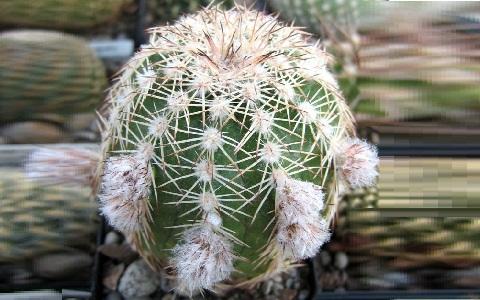 xopark1Echinocereus-adustus