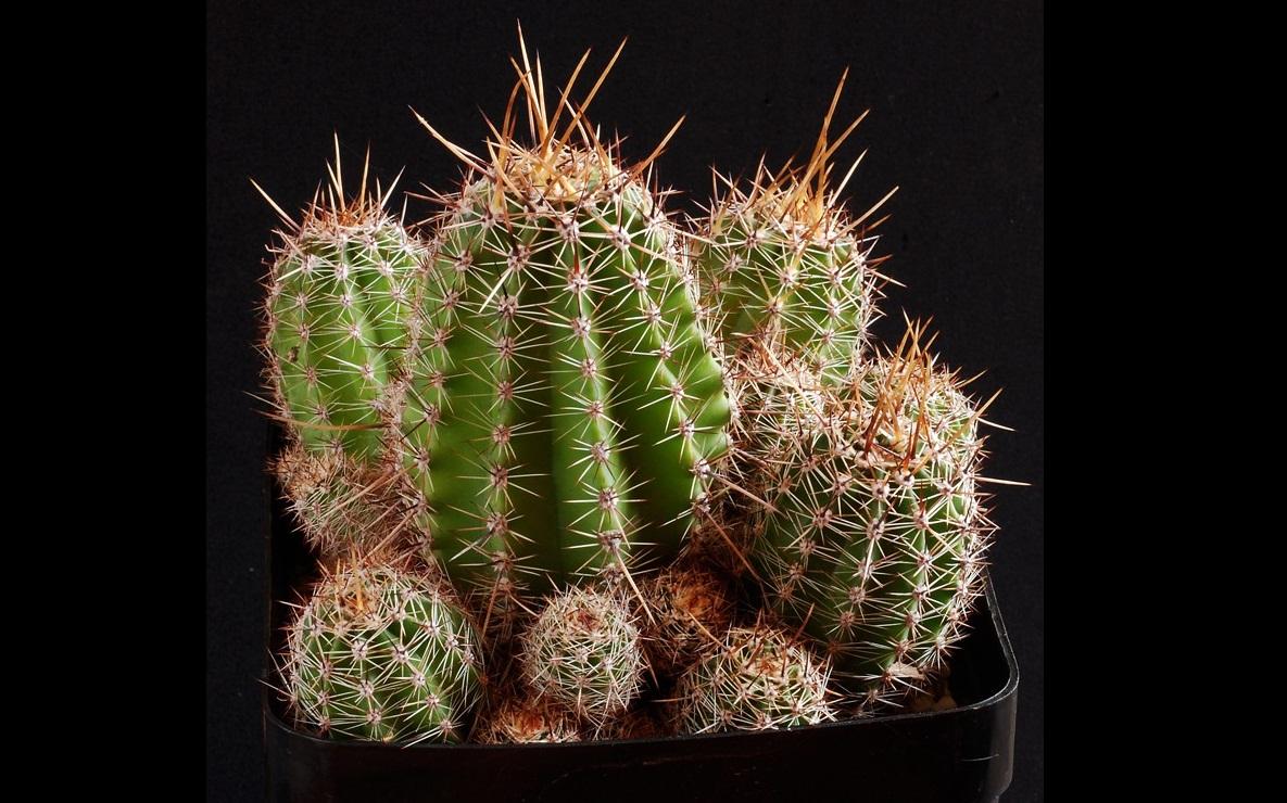 xopark1Echinopsis-aurea