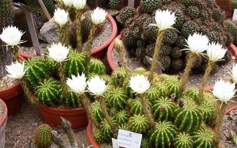 xopark1Echinopsis-calochlora