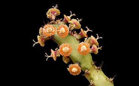 xopark1Euphorbes-du-Maroc—Euphorbia-resinifera—Resin-spurge