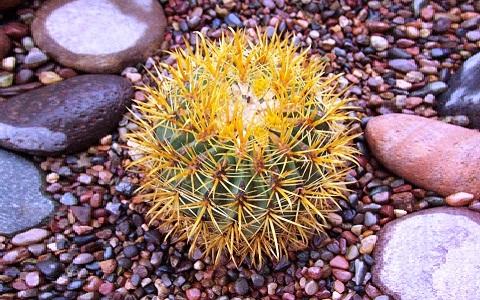 xopark1Ferocactus-chrysacanthus