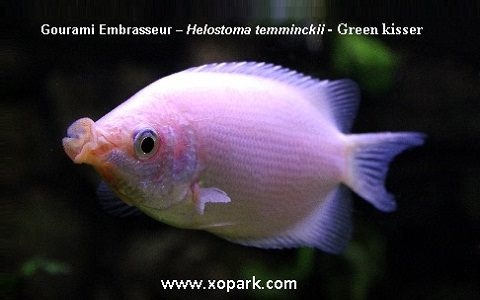 xopark1Gourami-Embrasseur—Helostoma-temminckii—Green-kisser