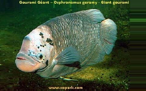 xopark1Gourami-Géant—Osphronemus-goramy—Giant-gourami