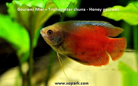 xopark1Gourami-Miel—Trichogaster-chuna—Honey-gourami