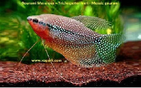 xopark1Gourami-Mosaique—Trichogaster-leeri—Mosaic-gourami