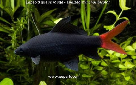 xopark1Labeo-à-queue-rouge—Epalzeorhynchos-bicolor—Bicolor-labeo