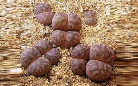 xopark1Lithops-coleorum