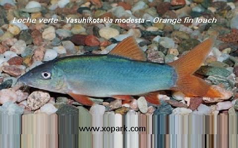xopark1Loche verte—Yasuhikotakia-modesta—Orange-fin-loach